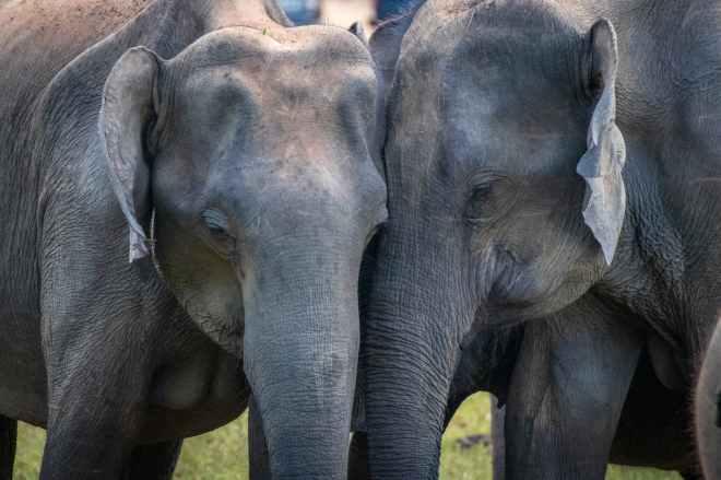 two adult elephants